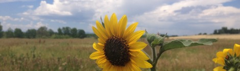 Sunflower Colorado Summer