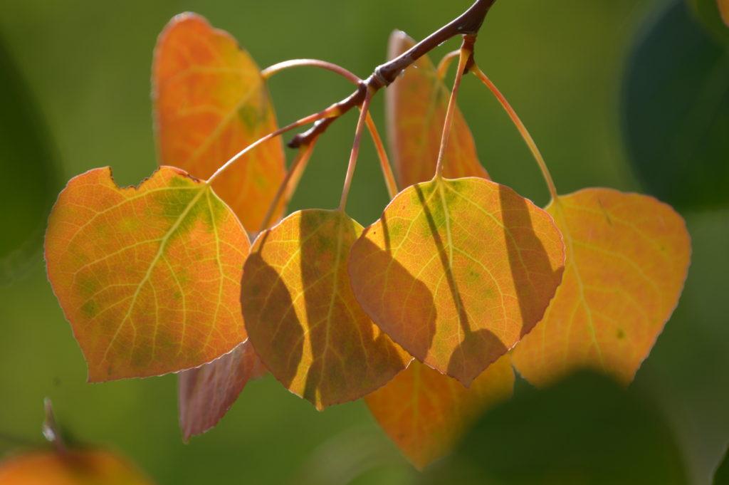 Colorado Fall Aspen Leaves