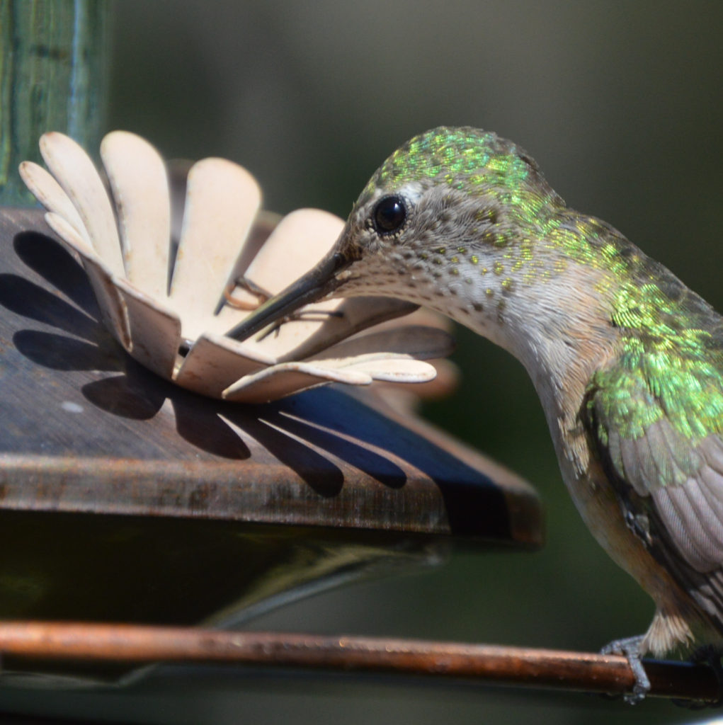 Colorado Hummingbird